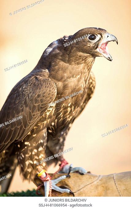 Trained Saker Falcon (Falco cherrug) on glove of falconer, calling. Abu Dhabi