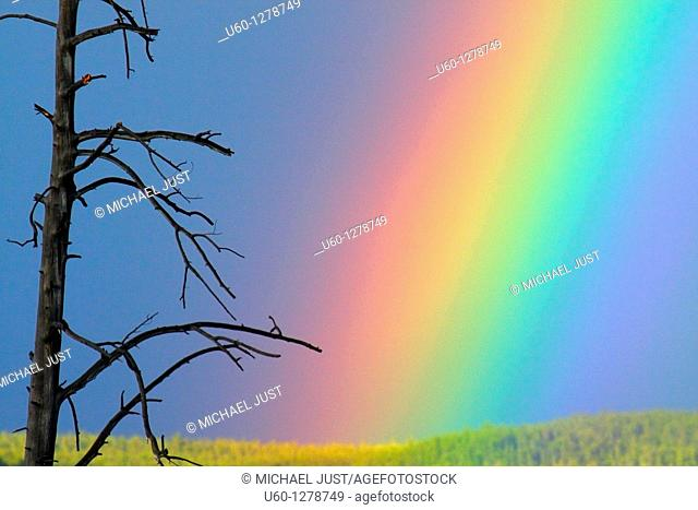 A rainbow appears next to a dead tree after a rainstorm at Yellowstone National Park, Wyoming