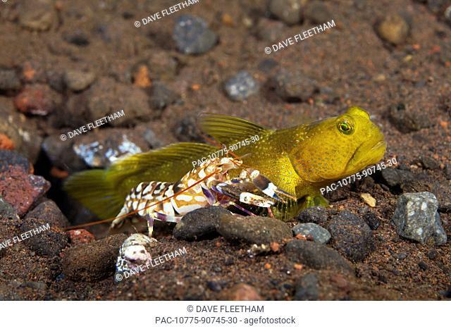 Indonesia, Bali, Tulamben, Yellow Shrimp Goby Cryptocentrus cinctus living with a Blind Snapping Shrimp Alpheus sp