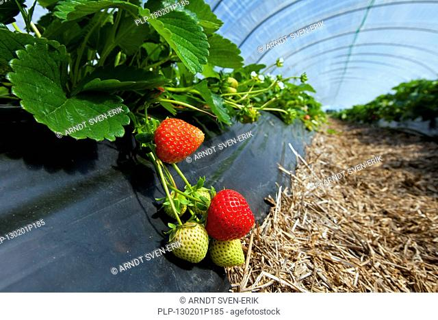 Cultivation of garden strawberries Fragaria x ananassa in plastic greenhouse, Germany