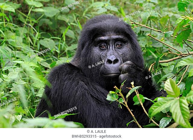 Mountain gorilla (Gorilla beringei beringei), portrait of a silverback, Uganda, Bwindi Impenetrable National Park