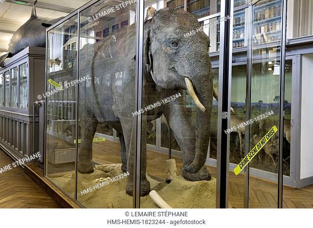 France, Seine Maritime, Rouen, Museum of Natural History, Asian elephant (elephas maximus)