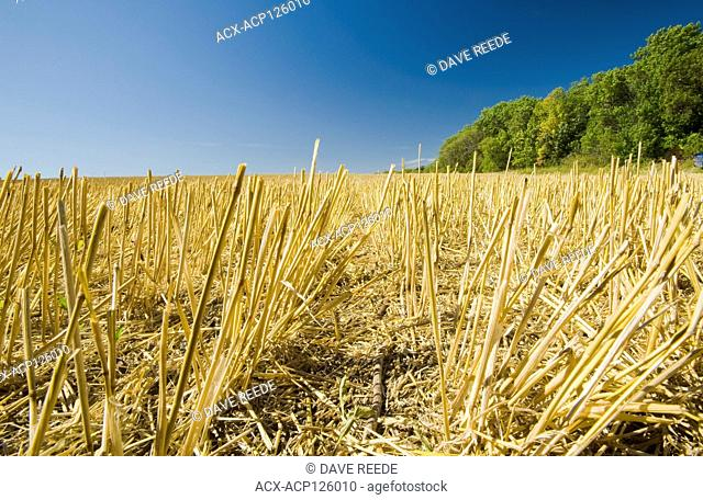 a field of wheat stubble, Tiger Hills, Manitoba, Canada