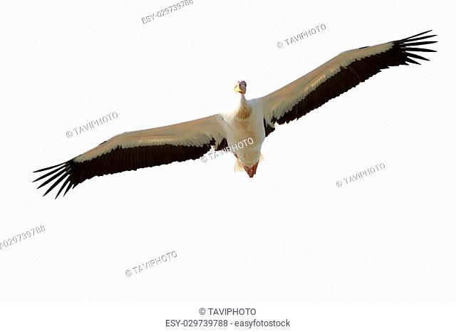 great pelican ( Pelecanus onocrotalus ) in flight, isolation over wnite background