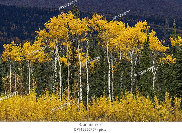 Golden colored trees along the Alaska Highway, Yukon Territory, Canada