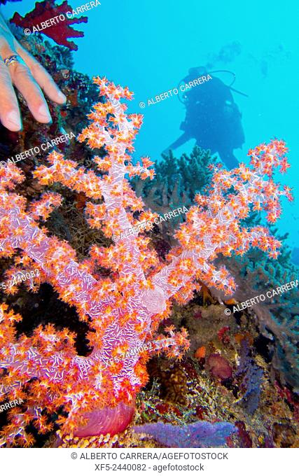 Multi-branched trees, Coral Reef, South Ari Atoll, Maldives, Indian Ocean, Asia
