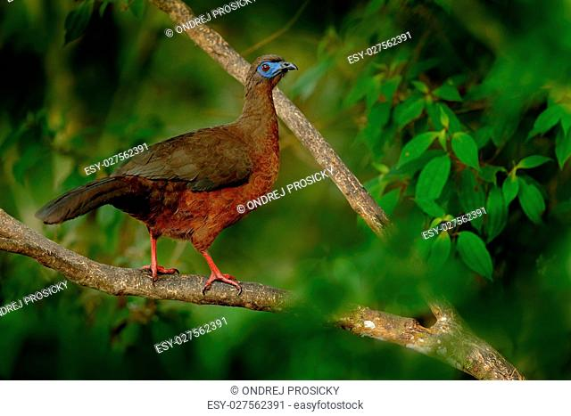 Band-tailed Guan, Penelope argyrotis, rare bird from dark forest