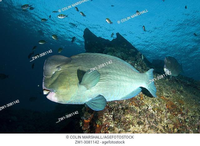 Bumphead Parrotfish (Bulbometopon muricatum, Scaridae family) swimming past wreck, USAT (US Army Transport) Liberty wreck dive site, Tulamben, east Bali