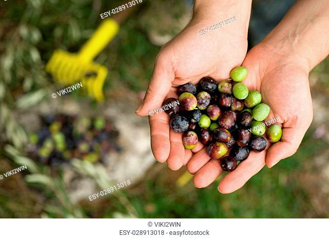 Group of fresh olives in male hands