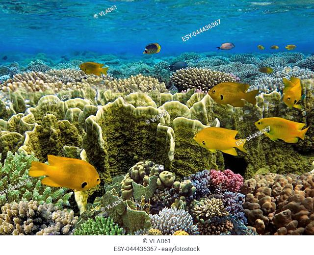 Coral fish Sulfur damse,Red Sea