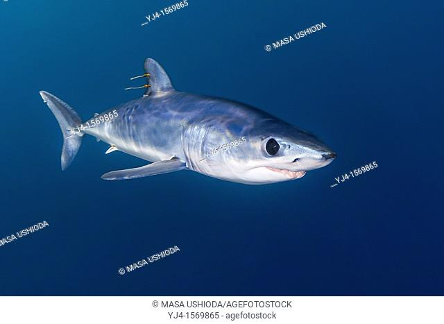 shortfin mako shark, Isurus oxyrinchus, with parasitic copepods, very aggressive and the fastest swimmer of all shark species, San Diego, California, USA