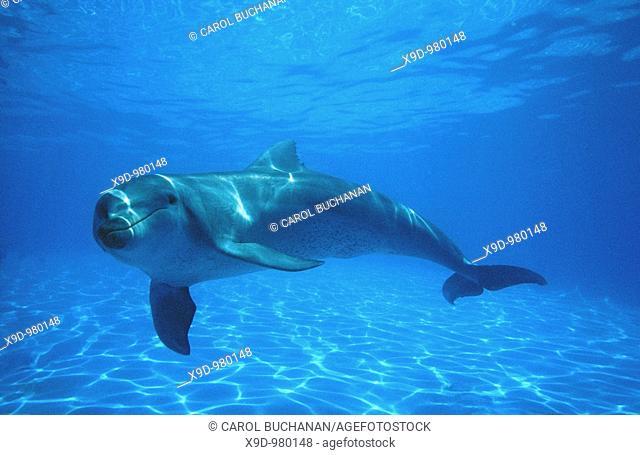 a Bottlenose Dolphin, Tursiops truncatus, swimming underwater, Australia