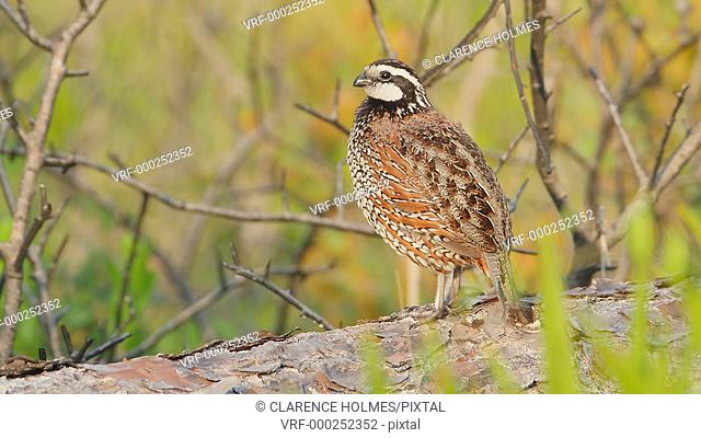 A male Florida Bobwhite (Colinus virginianus floridanus), a regional subspecies of the Northern Bobwhite, stands on a log mostly hidden in low vegetation while...