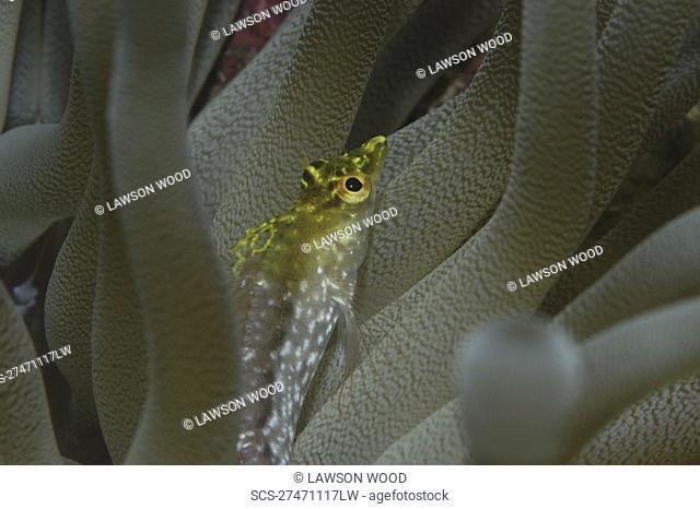 Diamond Blenny Malacoctenus boehlkei resting on corals nearby anemone, Cayman Islands, Caribbean