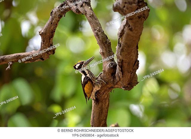 female White-naped woodpecker (Chrysocolaptes festivus), Kanha National Park, Madhya Pradesh, India