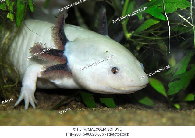 Axolotl Ambystoma mexicanum leucistic, neotenic larval form, captive
