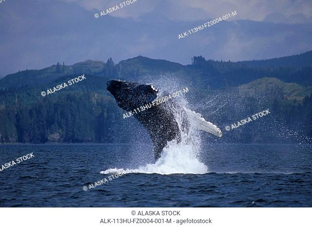 Humpback Whale breaching in Kodiak Archipelago Southwest Alaska Summer