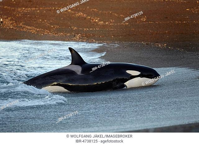 Orca (Orcinus orca) intentionally stranding on the beach in the unsuccessful attempt to catch a sea lion pup (Otaria flavescens), Peninsula Valdés, Chubut