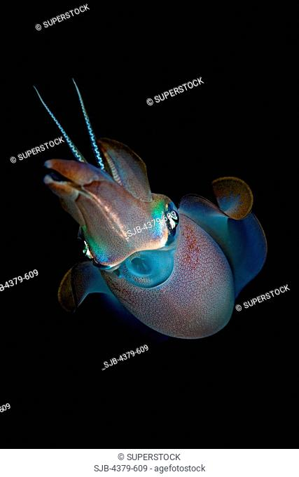 A bigfin reef squid Sepioteuthis lessoniana, in the Maldives