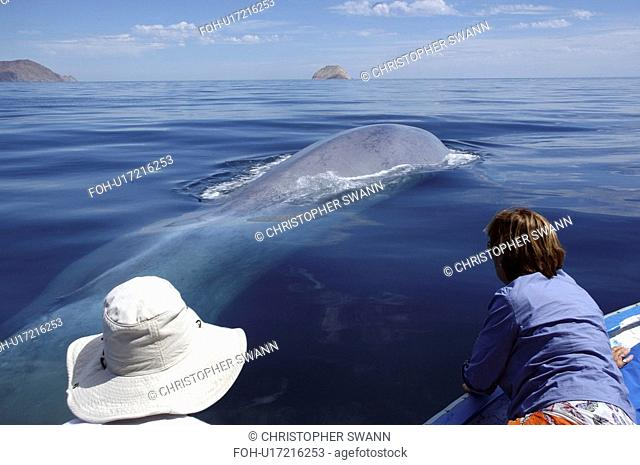 A blue whale Balaenoptera musculus surfaces alongside a panga with tourists. The tiny dorsal fin is visible to the left of the white hat