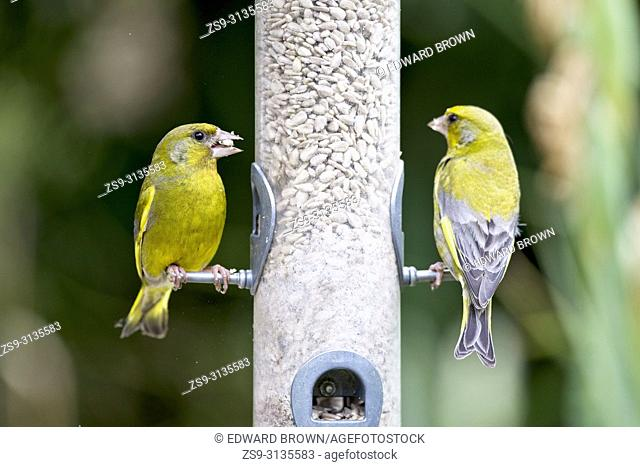 Greenfinches (Carduelis chloris) eating sunflower hearts from a bird feeder, East Sussex, UK