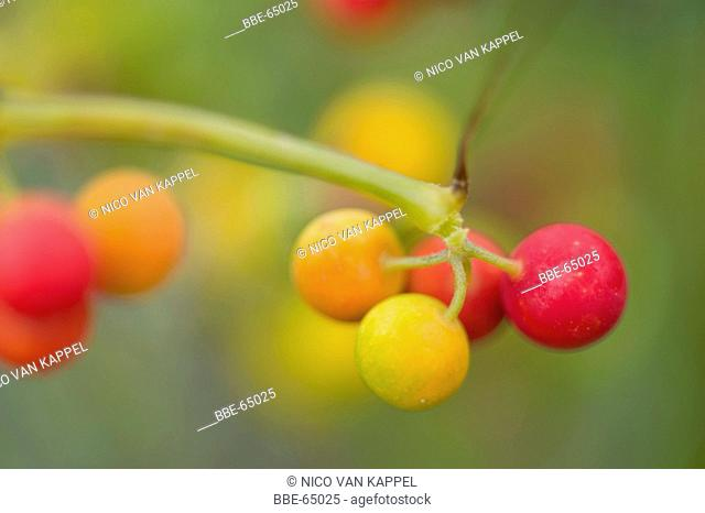 white bryony berries in close-up