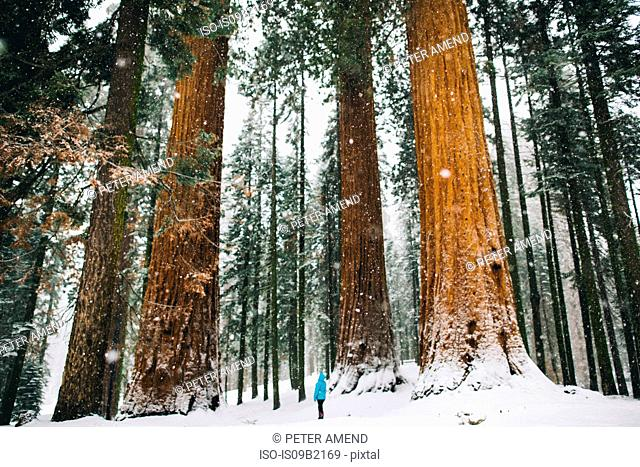 Woman by giant trees in snow-covered forest, Sequoia National Park, California, USA