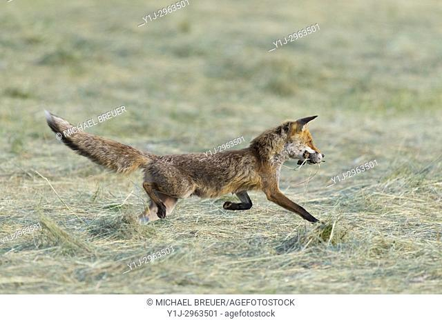 Red fox (Vulpes vulpes) with mouses on mowed meadow, Hesse, Germany, Europe