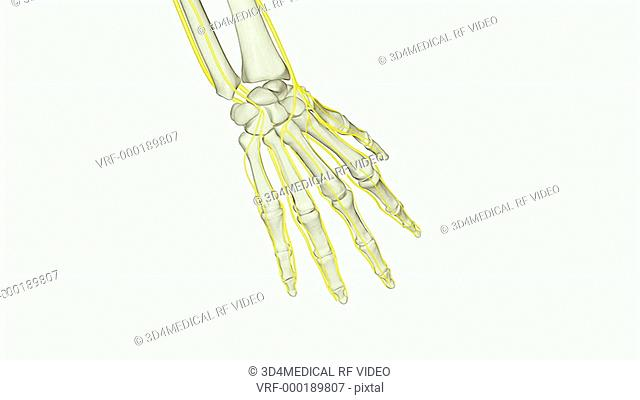 An animation of the nerves of the hand. The camera zooms in and rotates to show the nerves of the right hand relative to the skeleton