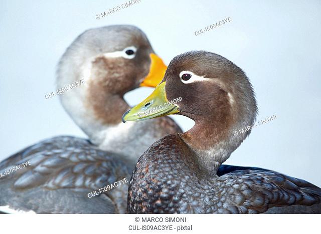 Steamer duck (Tachyeres brachypterus) pair, Falkland Islands