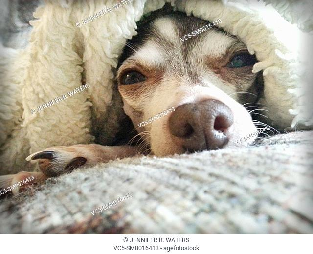 An adult male chihuahua lying down under a blanket indoors