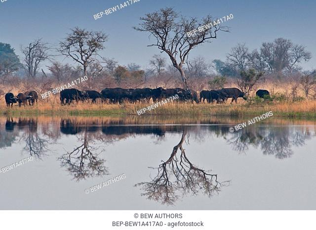 Africa, Namibia, Buffalos in Mudumu National Park