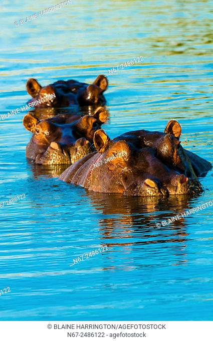 Three hippos peering above the water in a pond near Kwara Camp, Okavango Delta, Botswana