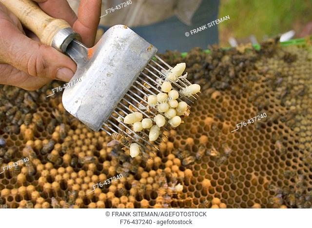 Beekeeper checking drone larvae for mite infestation using an uncapping fork. No mites are apparent here. There would be a brown spot on the larvae if a mite...