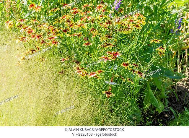 Tickseed / Coreopsis verticillata 'Route 66', Agrostis nebulosa
