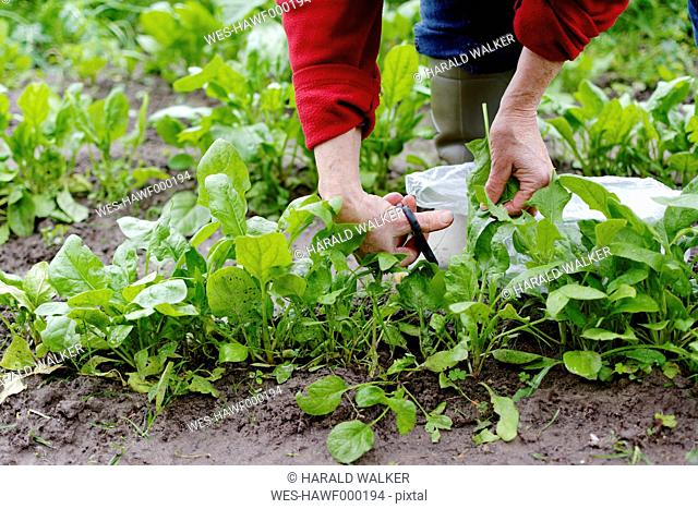 Woman harvesting spinach leaves in vegetable garden, partial view