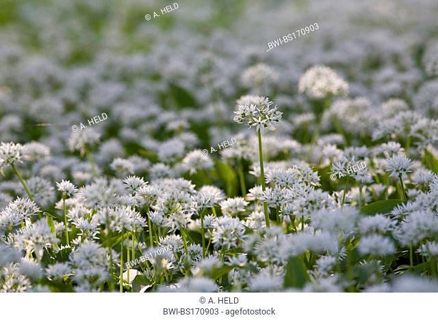ramsons (Allium ursinum), flowering, Germany, Baden-Wuerttemberg