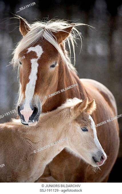 Haflinger Horse. Portrait of mare with foal in winter. Germany
