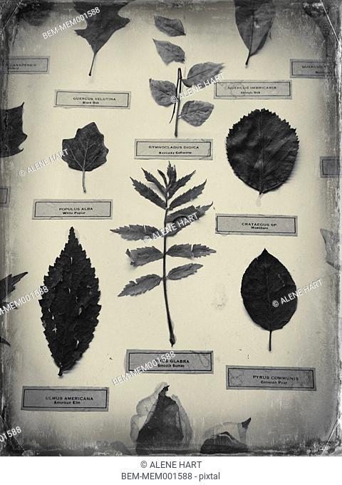 Labeled leaf specimens on display
