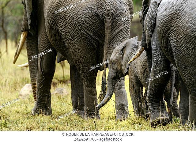 Wet African bush elephant (Loxodonta africana) herd in the rain. Serengeti National Park. Tanzania