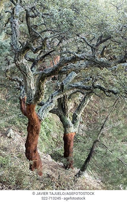 Cork oak, Alcornoque, (Quercus suber). Sierra Espadán. Castellón. Spain