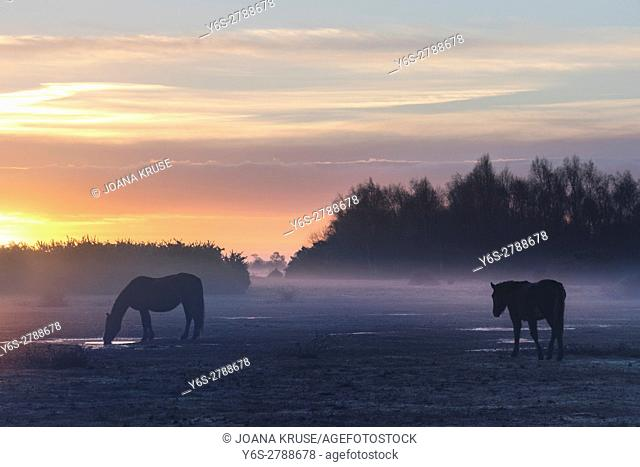 wild New Forest ponies in the sunrise in Ocknell, New Forest, Lyndhurst, Hampshire, England, UK