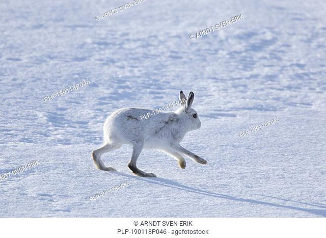Mountain hare / Alpine hare / snow hare (Lepus timidus) in winter pelage running in the snow, Cairngorms National Park, Scotland, UK
