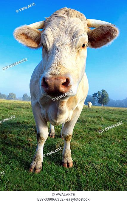 young white cow on green meadow
