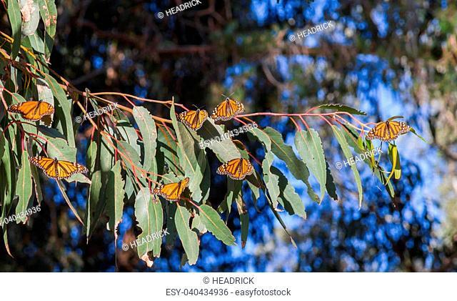 Monarch Grove, Pismo Beach CaliforniaThousands of Butterflies spend winter in the central coast