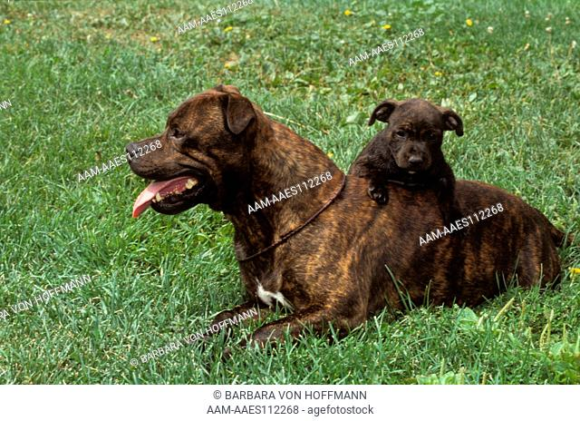 Pit Bull with Puppy aka American Staffordshire Bull Terrier, Colorado Springs