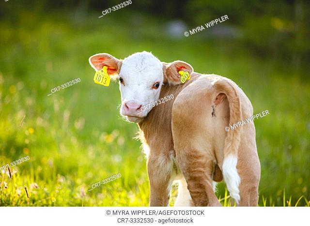 Young calf standing in sunset light