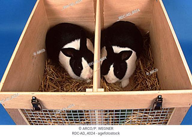 Dutch Rabbits in transport kennel
