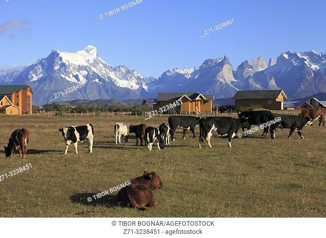 Chile, Magallanes, Torres del Paine, national park, ranch, cattle,