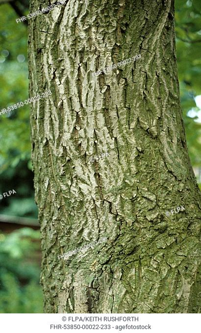 Common Walnut Juglans regia close-up of trunk